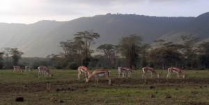 Gazelles.