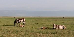 Zebras inside Ngorongoro Crater.