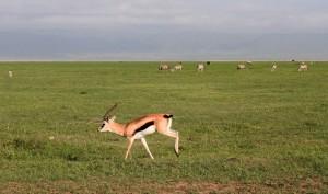 A Thomson gazelle running along.