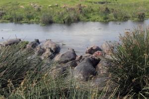 More hippos inside a pond.