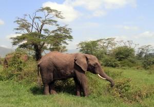Elephant feeding on a bush.