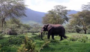 Bull elephant walking by.
