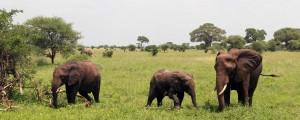 Elephants in Tarangire.