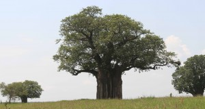 Baobab tree (Adansonia digitata).