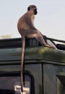 Velvet monkey sitting on top of a safari vehicle.