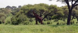 A dark male giraffe in Tarangire.