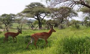 Two impalas.