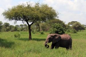 Elephant feeding on grass.