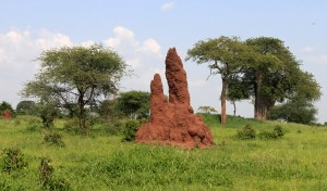 Termite mound in Tarangire.