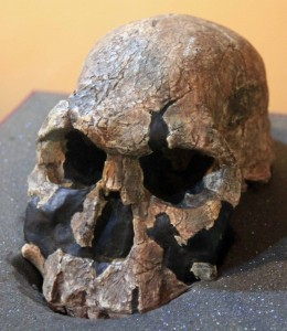 Homo rudolfensis (1.9 million years old).