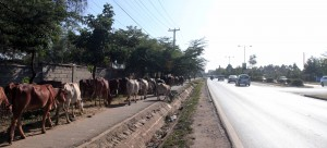 Cattle being herded along side a road in Nairobi.