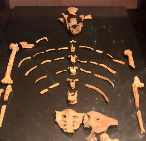 Replica of Lucy, a 3.2 million year old Australopithecus afarensis.