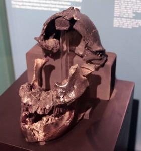Partial skull of Australopithecus boisei.