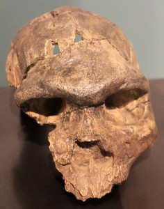 Partial skull of Homo rhodesiensis.