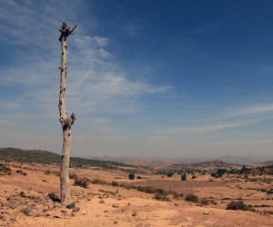 Remains of a tree in the arid Ethiopian countryside.