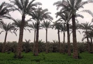 Date palm plantation.