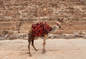 Camel in front of the Pyramid of Khafre.