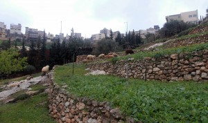Terraces for crops in Nazareth Village.