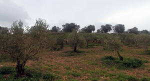 Field of olive trees.