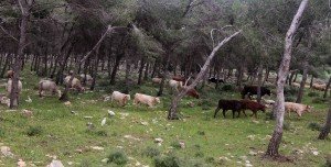 Cattle being herded through the forest.