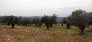 Olive groves.