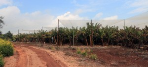 Banana plantation north of Migdal.