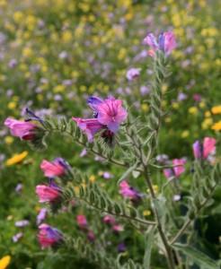 Israeli wildflowers.