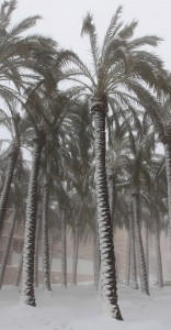 Palm trees blasted with snow.