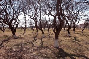 Orchard at Zvartnots.