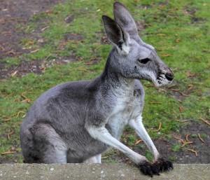 A kangaroo.