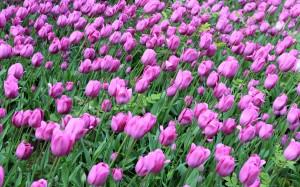Tulips in Topkapi Palace.