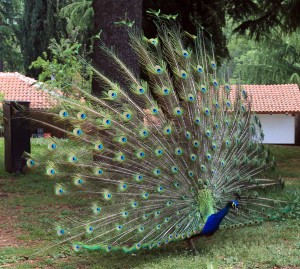 Male peacock at the monastery.
