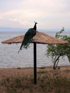 Peacock standing tall at the beach next to the monastery.