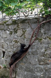 A black cat climbing up a grapevine.