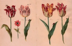 A sheet from a Tulip book by Jacob Marrel (1640 AD).