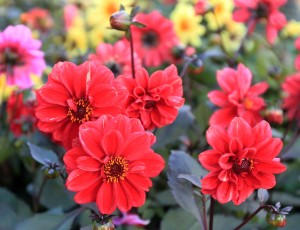 Peony-flowered dahlias.