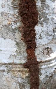 Termites on a tree.