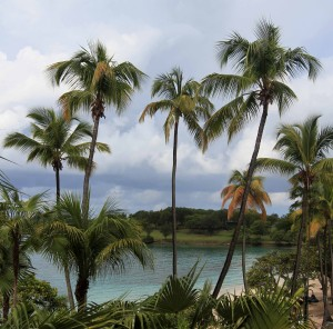 Tall coconut palms at Caneel Bay.