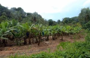 A banana plantation.