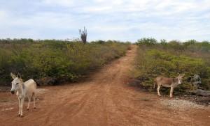Donkeys along the roadside in Bonaire.