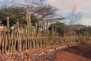 Fence made of cacti (quite common in Bonaire).
