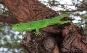 Juvenile green iguana in a tree.
