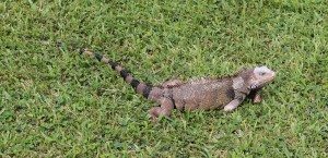 An adult iguana in the grass (one of many in Aruba).