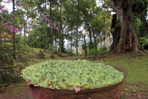 A large metal bowl with water lettuce.
