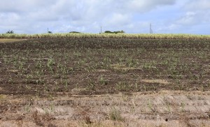 Recently planted field of sugarcane off the side of the road in Barbados.