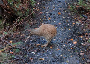 A kiwi (the national bird of New Zealand) on the trail in the early morning.