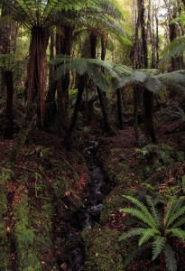 A small stream passing underneath the fronds of rough tree ferns.