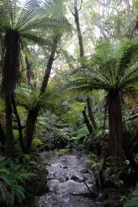 Stream with rough tree ferns overhead.