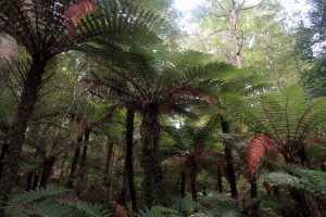 Rough tree ferns on the Kepler Track.