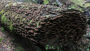 A log covered with fungi.